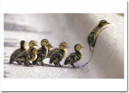 Ducklings Fowl The Leader