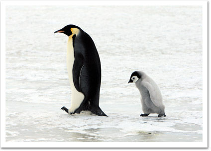 Parent and Baby Penguin