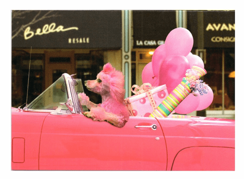 Pink Poodle in Pink Car