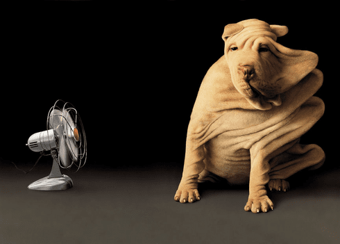 Shar-Pei and Fan