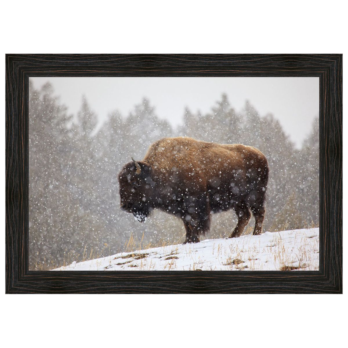 Bison in the Snow Framed Canvas