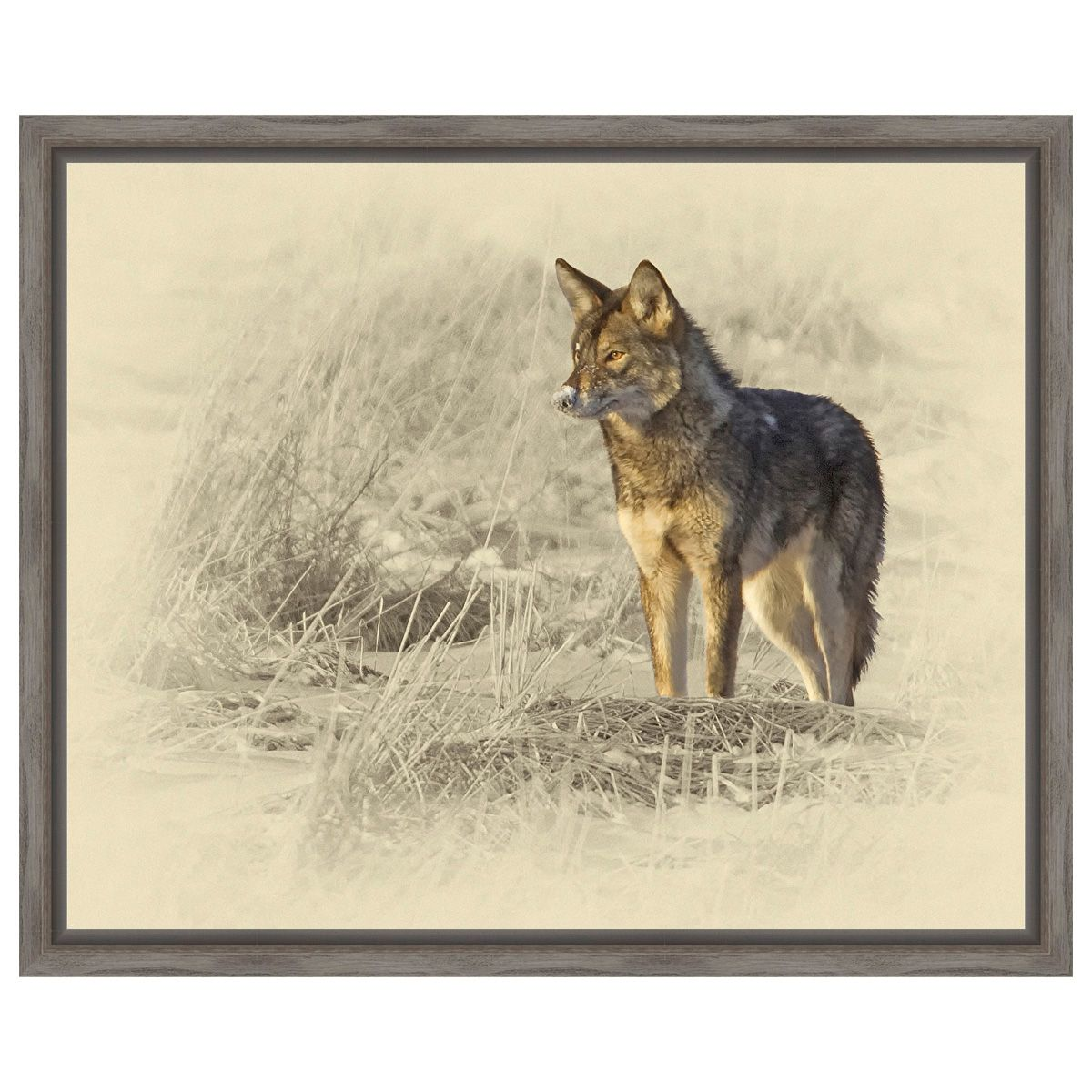 Coyote Framed Canvas