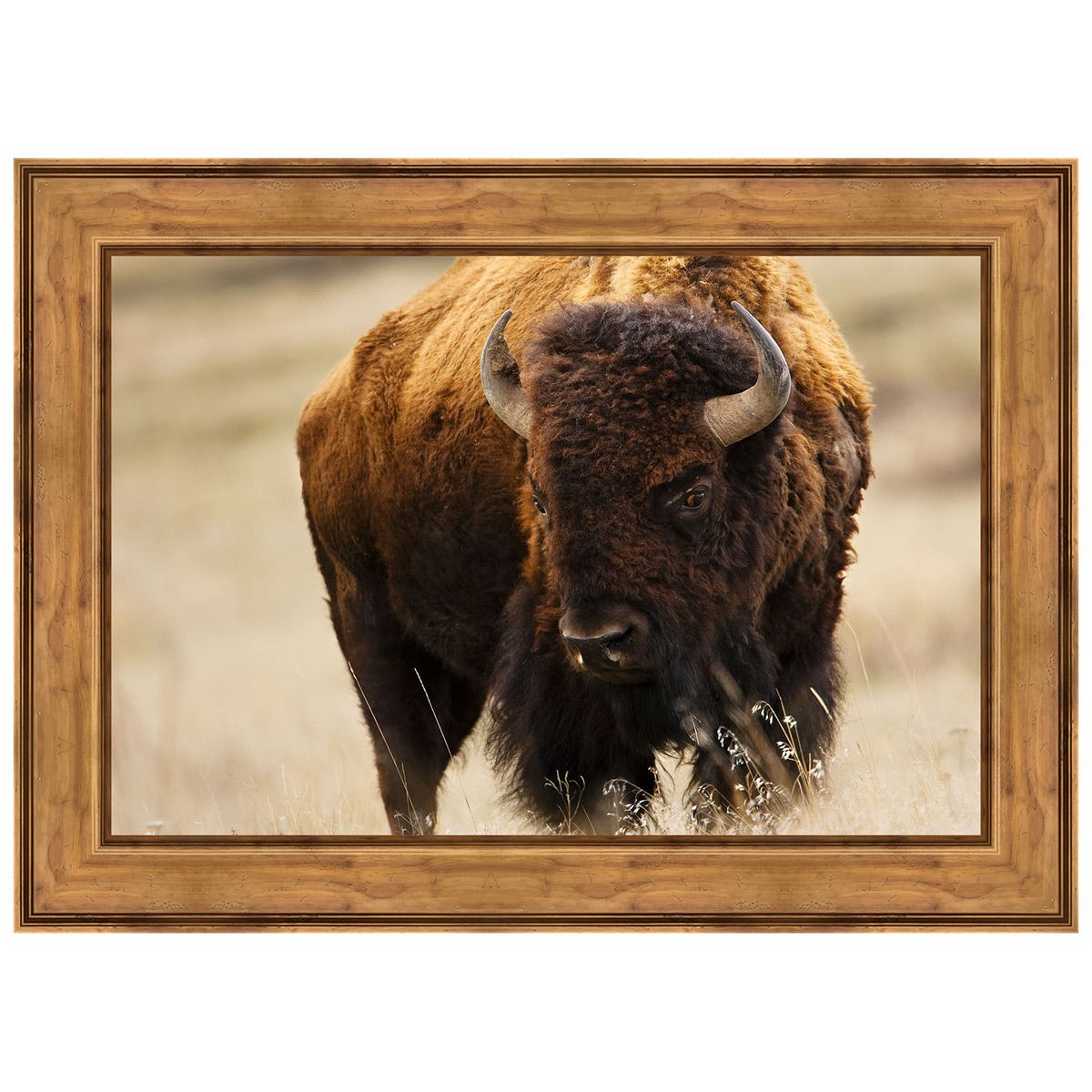 Montana Bison Framed Canvas