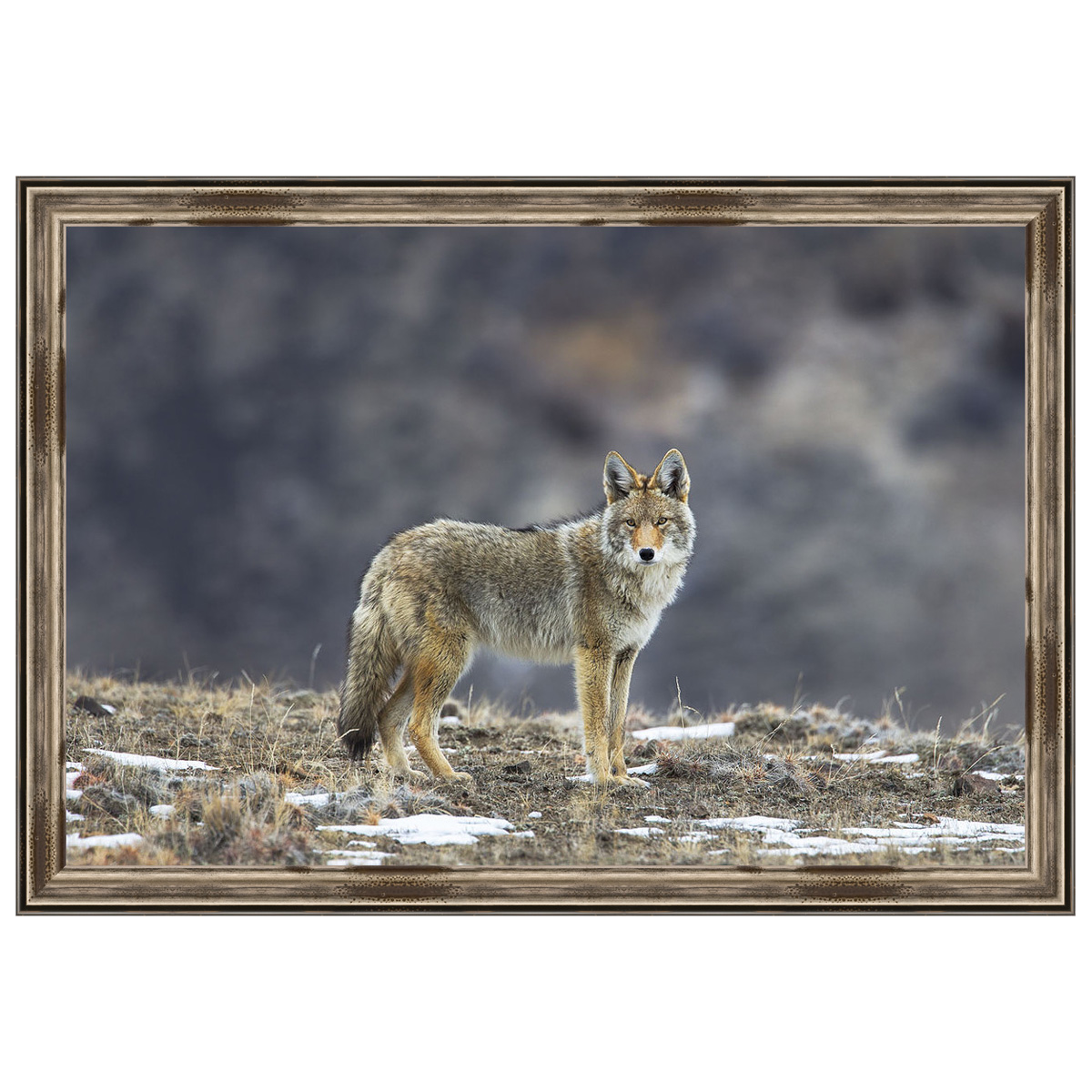 Yellowstone Coyote Framed Print
