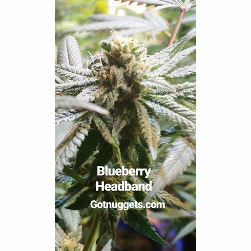Blueberry Headband by Souvenir Seeds Co. 10 pack