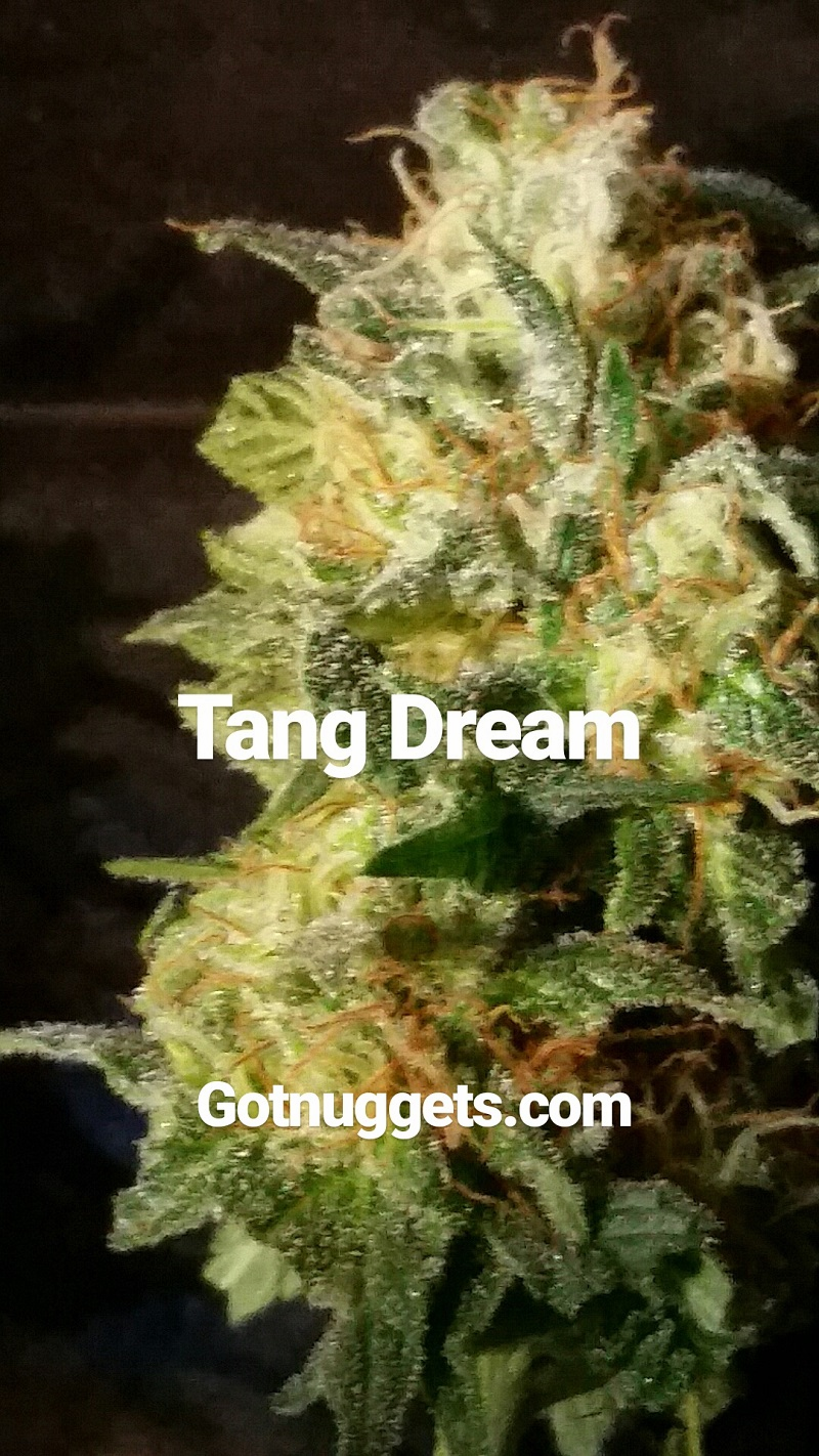 Tangerine Dream from Souvenir Seed Co. 10 seed packs