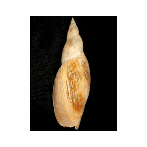 Adelomelon ancilla