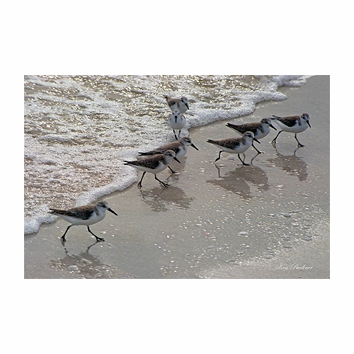 Sandpipers Giclee
