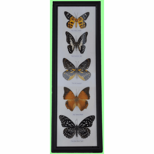Butterfly Mounted Specimens Framed