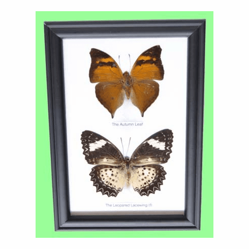Two Mounted Butterflies Framed