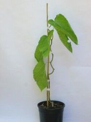 Contorted Mulberry 1 gal