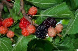 Dwarf Everbearing Mulberry grower's pot
