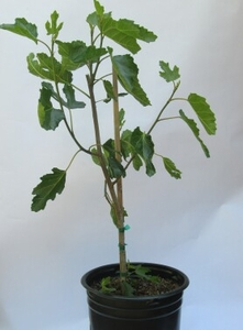 Negronne Fig Tree 5 gal