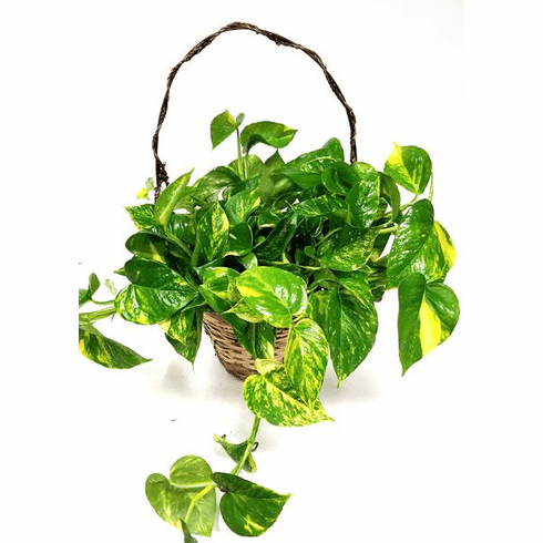 Pothos plant in a handled basket.