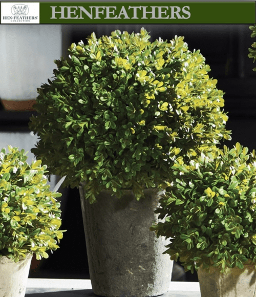 English Boxwood Potted