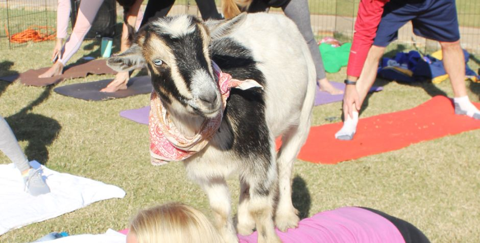 HAPPY GOAT YOGA AT THE FOUR SEASONS