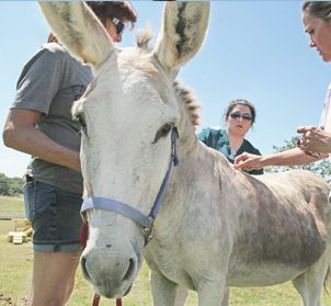 DONKEY ACUPUNCTURE WITH DR. GRAND