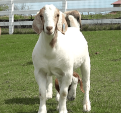 Goat Cam: Join Our Herd