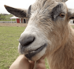 Virtually Pet a (Small & Really Cool) Goat