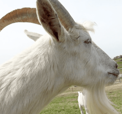 Virtually Pet a (Very Large) Goat