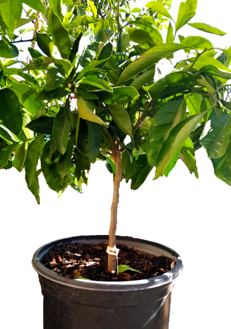 Buy Citrus Trees