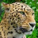 rey leopardo