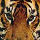 Tigre's avatar