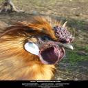 Susie Loves Chickens's avatar