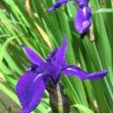 Iris's avatar