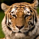 Tiger Boy's avatar