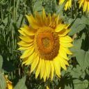 Girasole's avatar