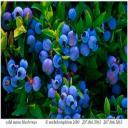 Blueberrygal's avatar