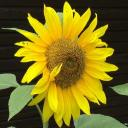 Sunflower's avatar