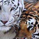 Tigers love's's avatar