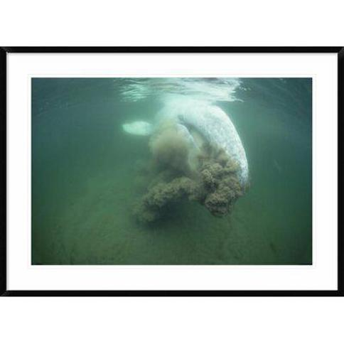 """Global Gallery 'Gray Whale Filter Feeding Vancouver Island Canada' Framed Photographic Print DPF-450590-2030-266 Wall Art Size: 30"""" H x 42"""" W x 1.5"""" D"""