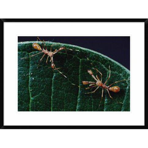 "Global Gallery 'Kerengga Ant-Like Jumper Males Fighting Sri Lanka' Framed Photographic Print DPF-450714-1218-266 Wall Art Size: 22"" H x 30"" W x 1.5"" D"