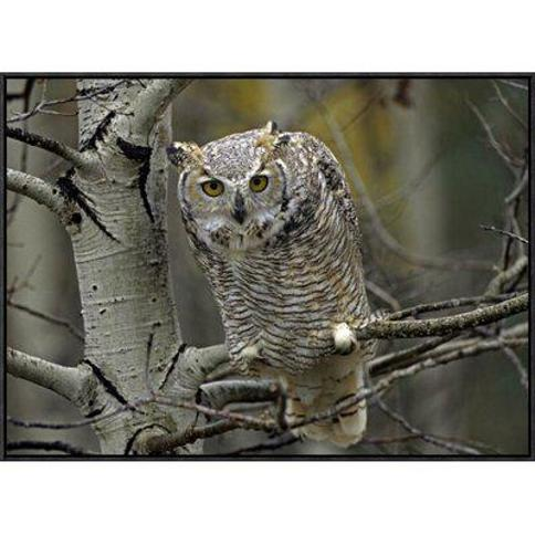 """Global Gallery Great Horned Owl Pale Form Kootenays British Columbia Canada by Tim Fitzharris Framed Photographic Print on Canvas GCF-396642 Size: 24"""" H x 32"""" W x 1.5"""" D"""