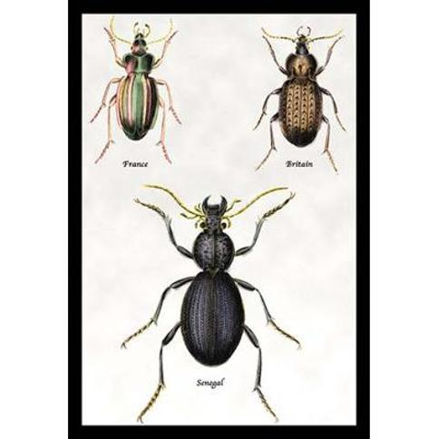 Buyenlarge 'Beetles of Senegal Britain and France #1' by Sir William Jardine Graphic Art 0-587-15392-x