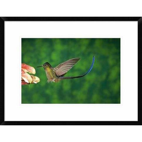 """Global Gallery 'Violet-Tailed Sylph Hummingbird Visiting Flower Andes Ecuador' Framed Photographic Print DPF-398307-1218-266 Wall Art Size: 18"""" H x 24"""" W x 1.5"""" D"""