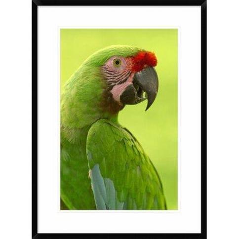"Global Gallery 'Military Macaw Portrait Amazon Rainforest Ecuador' Framed Photographic Print DPF-397907-1218-266 Size: 30"" H x 22"" W x 1.5"" D"