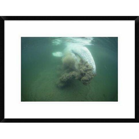 """Global Gallery 'Gray Whale Filter Feeding Vancouver Island Canada' Framed Photographic Print DPF-450590-2030-266 Wall Art Size: 18"""" H x 24"""" W x 1.5"""" D"""