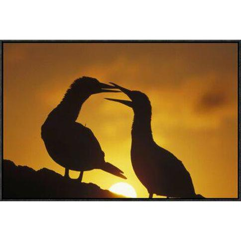 """East Urban Home 'Masked Booby Couple Courting at Sunset Galapagos Islands Ecuador' Photographic Print FBVC6457 Format: Black Framed Size: 20"""" H x 30"""" W"""