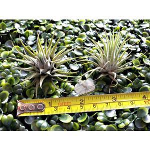 [ 變異型小精靈空氣鳳梨 IonanthaVar. Ionantha ]活體空氣鳳梨 空鳳植栽 需通風良好