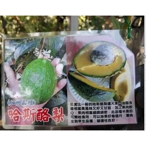 水果苗 **哈斯酪梨(加州品種) ** 4吋盆/高30-50cm/ 肉質細緻【花花世界玫瑰園】S