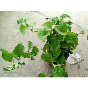 [ 魚腥草盆栽 5-6吋盆] 香草植物/藥用植物活體盆栽 可食用可泡茶