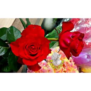 [大紅色大玫瑰花盆栽] 8吋盆活體盆栽 多年生 四季開花 半日照佳