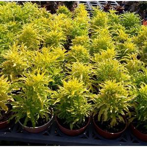 綠籬植物 ** 三爪金龍 ** 3吋盆/高10-20公分/葉色明亮金黃【花花世界玫瑰園】R