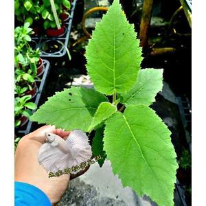 活體 [ 奇異果苗 小奇異果盆栽] 室外植物 3吋盆栽 送禮盆栽