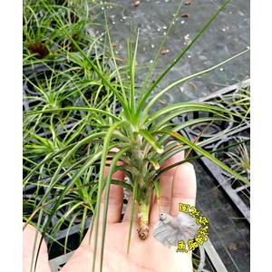 [紅劍 空氣鳳梨]活體空氣鳳梨 空鳳植栽 需通風良好