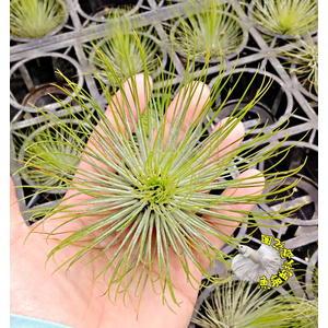 [大紅寶石 空氣鳳梨 ]活體空氣鳳梨 空鳳植栽 需通風良好